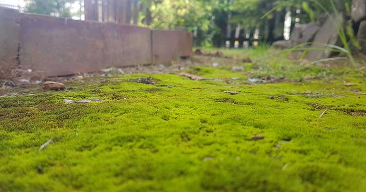 moss in the lawn